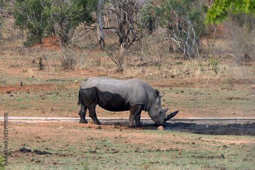 Rhinocéros blanc, white rhino, Ceratotherium simum, Parc national Kruger, Afrique du Sud