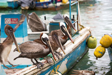 Pelicans Sitting On A Fishing Boat In A Harbor At The Galapagos Islands
