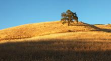 Lone Oak Tree On Golden California Hillside At Sunset