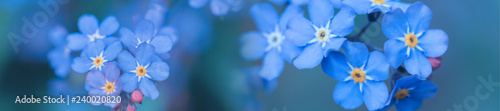 Foto auf AluDibond Blumen panorama spring background forget-me-not flowers