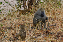 An Adult Male With Two Nearby Young Olive Baboons In Tarangire National Park Tanzania