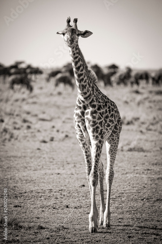 Cuadros en Lienzo  A lone young giraffe walks towards viewer in sepia