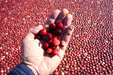 Handful Of Cranberries And Leaves Scooped From The Cranberry Field