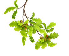Branch Of Oak Tree With Green ...