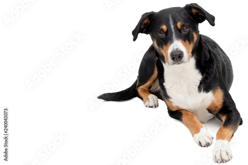 Appenzeller Mountain Dog On White Background Buy This