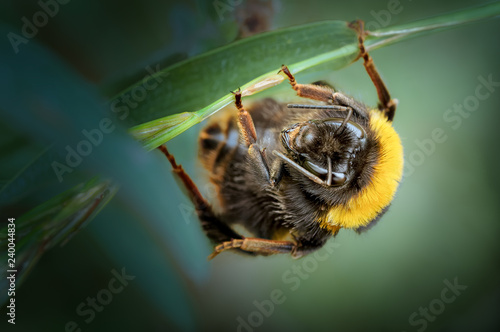 Photographie Buff-tailed Bumblebee Queen, Bombus terrestris resting.