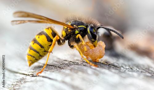 Common Wasp, Vespula vulgaris Scavaging old pear fruit. Canvas-taulu