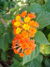 Flower, Orange, Nature, Garden, Yellow, Green, Plant, Flowers, Marigold, Red, Summer, Bloom, Blossom, Beauty, Spring, Beautiful, Lantana, Petal, Macro, Flora, Leaf, Floral, Tagetes, Color, Bright