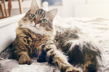 Cute Cat Lying On Comfortable Bed In Morning Light In Stylish Room. Maine Coon Resting On Blanket With Funny Emotions And Adorable Look