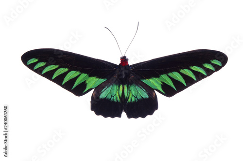 Butterfly : Rajah Brooke's birdwing (Trogonoptera brookiana),birdwing butterfly from Thai-Malay Peninsula Wallpaper Mural
