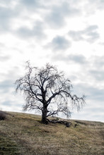 Solo Oak Tree Silhouetted On Hill