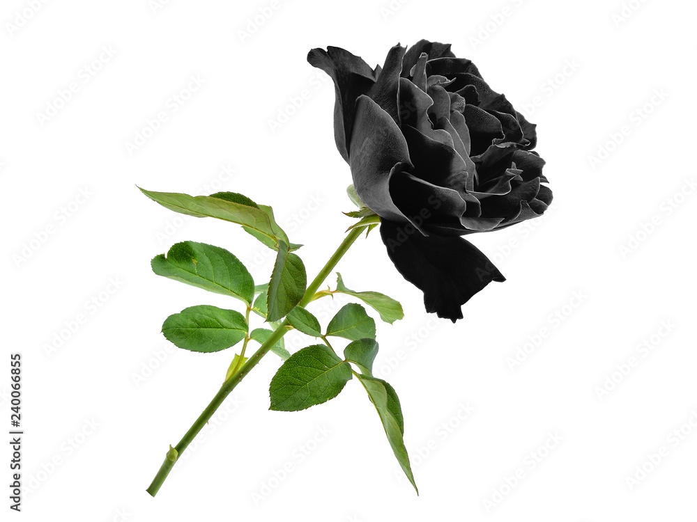 black rose with leaf isolated on white background