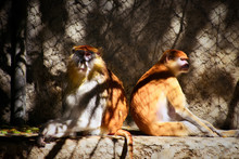 Patas Monkeys Warming Up In Th...