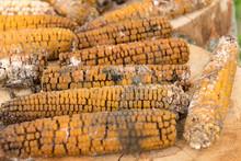 Moldy Rotten Corn Cobs Outside On Wood Logs