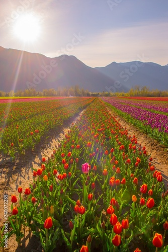 Obraz na plátně Rows of red tulips at sunrise with a mountain back drop