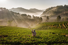 The Asian Female Traveler With His Camera Shoot Of The Beautiful Landscape, Strawberry Plantation In The Morning With The Mist Sky And Sunlight At Ban Nor Lae, Doi Ang Khang, Chaing Mai, Thailand.