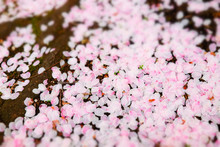 Pink Cherry Blossom On The Ground