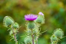 Blossoming Milk Thistle 'Silybum Marianum' Flower. Also Known As Holy Thistle, And Blessed Thistle.