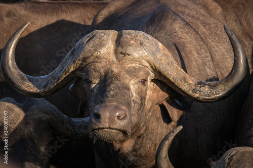 Fototapety, obrazy: Close up portrait of big trophy male African Cape buffalo.