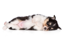 Sheltie Puppy Sleeping On White