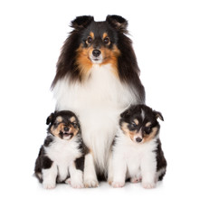 Beautiful Sheltie Dog Posing With Two Puppies On White