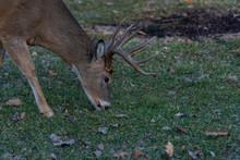 Deer With Horns Eating Grass
