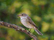 Spotted Flycatcher (Muscicapa Striata), Isolated In The Forest