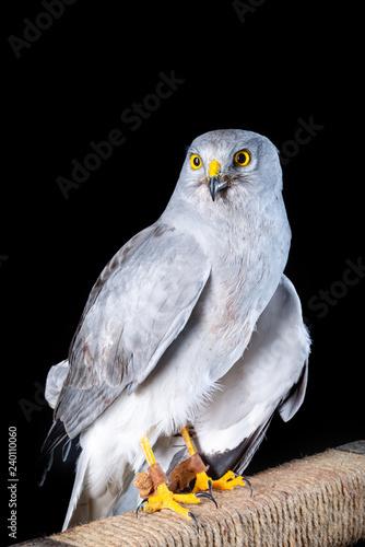 falcon bird wildlife peregrine eye fast hawk wing prey nature