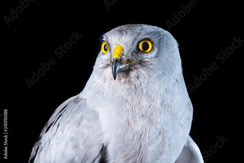 falcon bird wildlife peregrine eye fast hawk wing prey nature