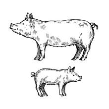 Hand Drawn Pig. Sketch, Vector...
