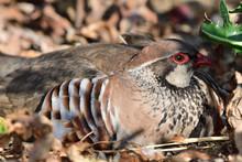 French Partridge (alectoris Rufa)