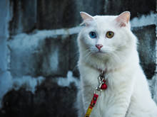 Brooding Khao Manee Cat