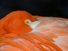 Greater Flamingo Resting