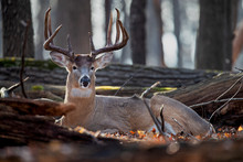 A Buck Whitetail Deer Bedded In The Woods.