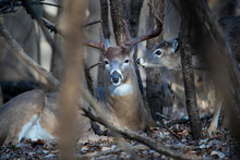 A Large Buck Whitetail Deer Being Approached By A Young Deer.