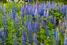 Flowering Lupine Roadside On The North Of Russia