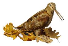 Woodcock Isolated On White