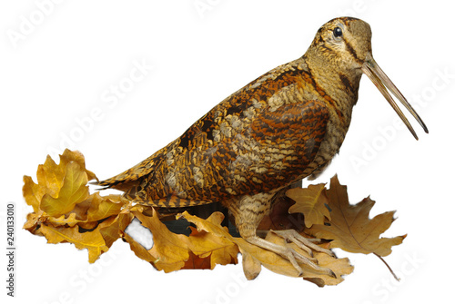 Valokuva Woodcock Isolated on white