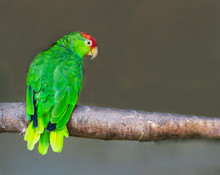Red Crowned Amazon Parrot Sitt...