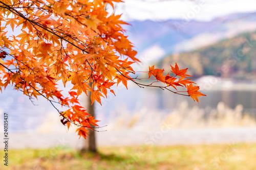 Campagne Maple tunnel in autumn of Kawaguchiko, Japan
