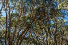 Koa Tree Towering Overhead Creating A Cool Shady Environment. Kokee State Park, Kauai, Hawaii