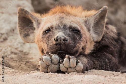 Foto auf Gartenposter Hyane Hyena