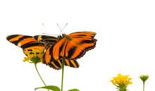 Banded Orange Butterfly (Dryadula Phaetusa) AKA The Banded Orange Heliconian, Banded Orange, Or Orange Tiger Butterfly.