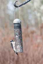 Closeup Of Downy Woodpecker On Bird Feeder