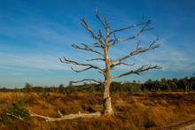 Lonely Dry Tree With Spreading Bare Branches In Autumn Against The Blue Sky In A European Forest In Belgium