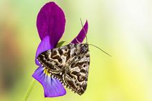 Mother Shipton Moth (Euclidia Mi, Callistege Mi)