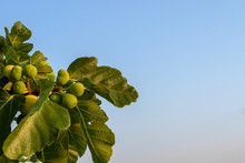 Figs On The Branch Of A Fig Tree With Green Leaves  Branches Against The Blue Sky. For Add Text .Abstract Background Photo. Close Up.