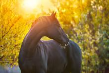 Black Horse Portrait In Autumn Landscape At Sunset