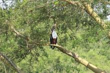 Seeadler In Afrika