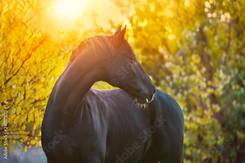 Obraz na plátně Black horse portrait in autumn landscape at sunset